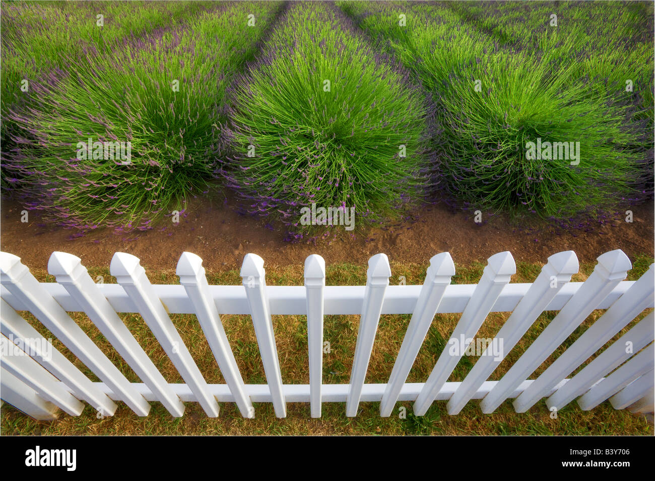 Fence with lavender Jardin du Soleil lavendar farm Washington - Stock Image