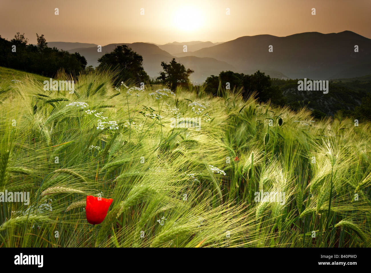 dawn in a barley field overlooking the Valnerina near Meggiano, Umbria, Italy - Stock Image