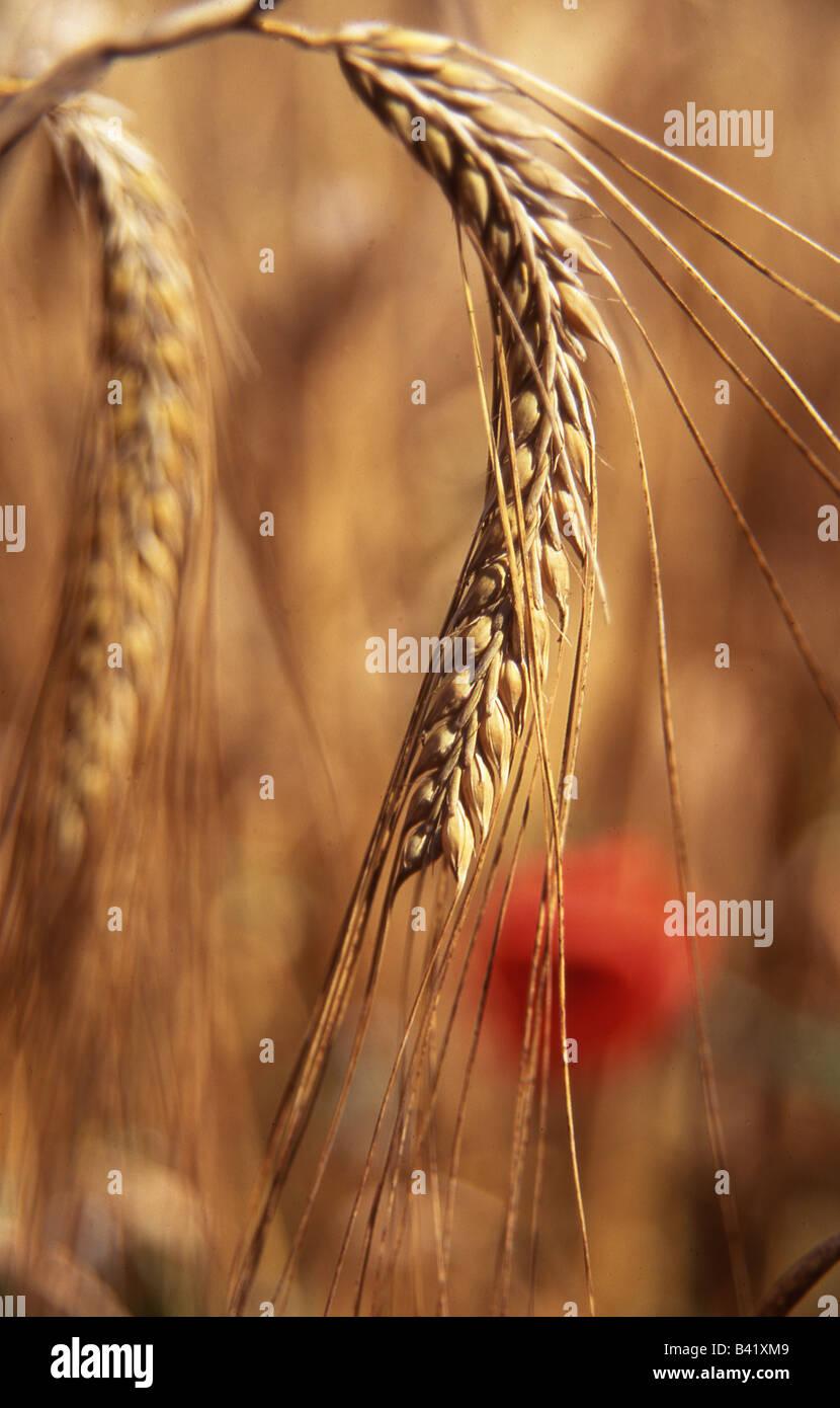 Close up of head of ripe barley - Stock Image
