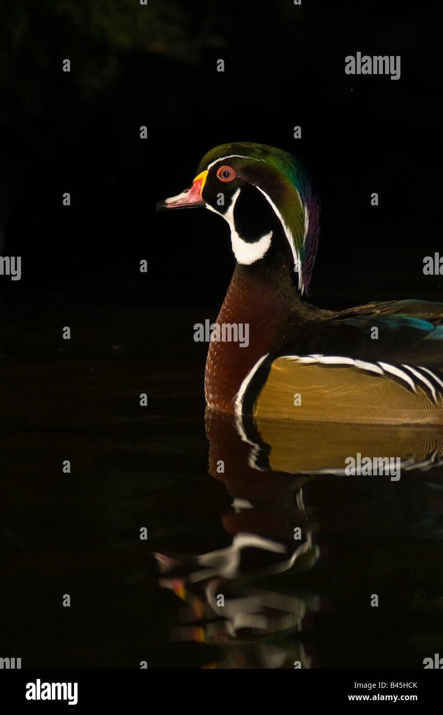 Mandarin Duck Aix galericulata swimmingby the  edge of a rocky pool:Lancashire - Stock Image