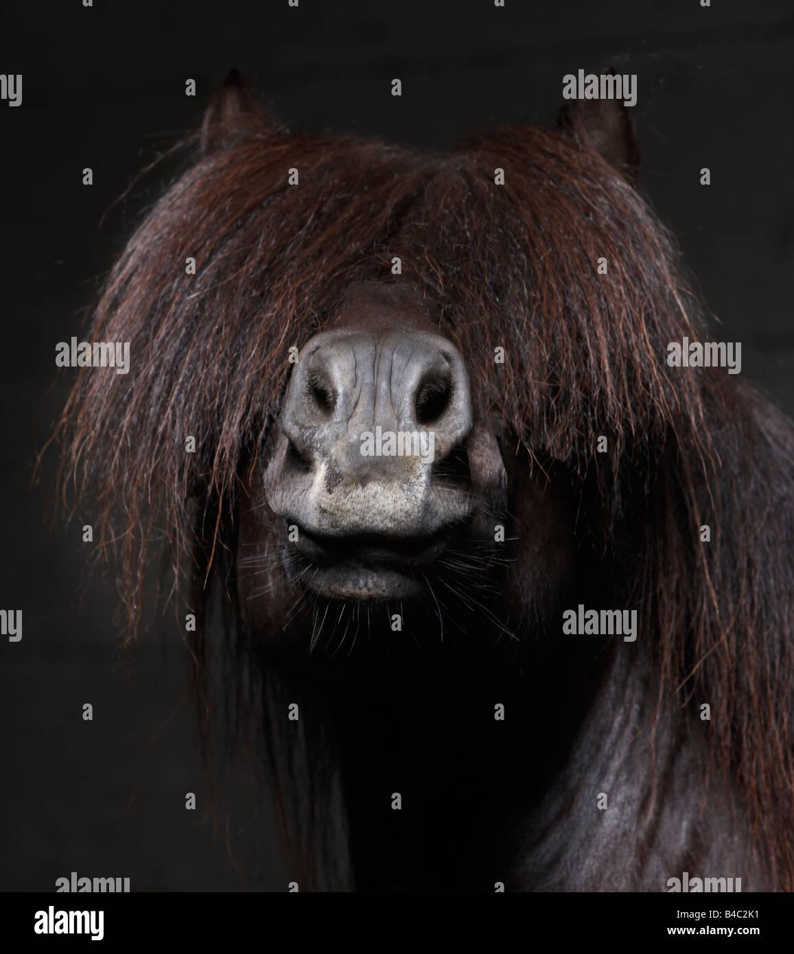 Pure Breed Icelandic Stallion with Mane over Eyes, Iceland - Stock Image