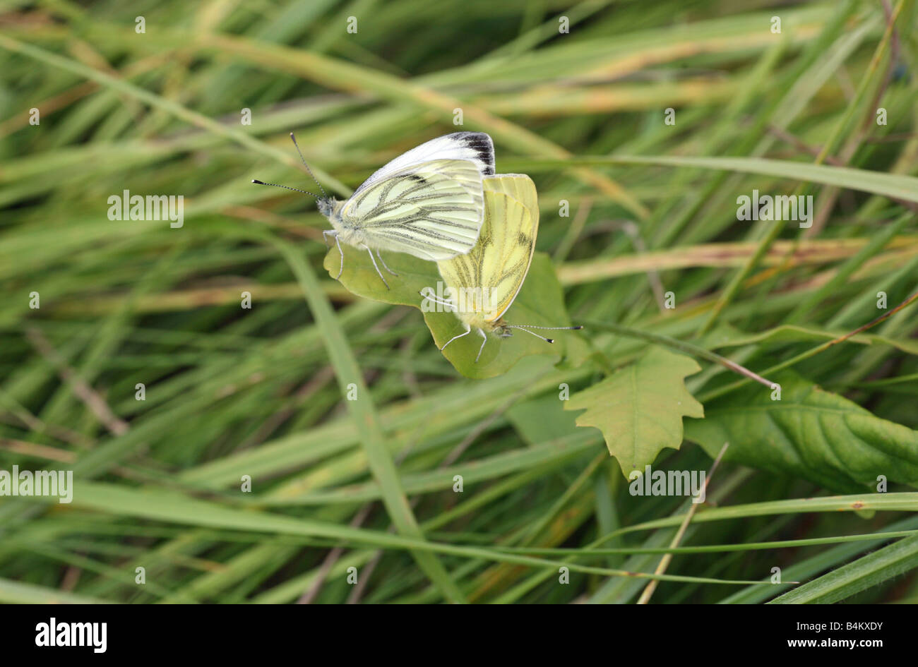 two-green-veined-white-pieris-napi-butterflies-mating-on-a-grass-stem-B4KXDY.jpg