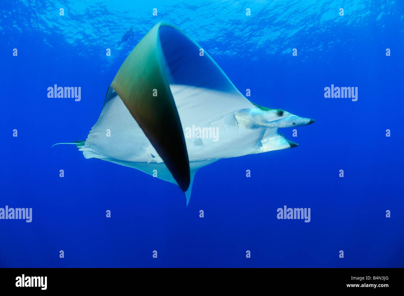 Devil ray Devil fish Manta, Mobula tarapacana - Stock Image