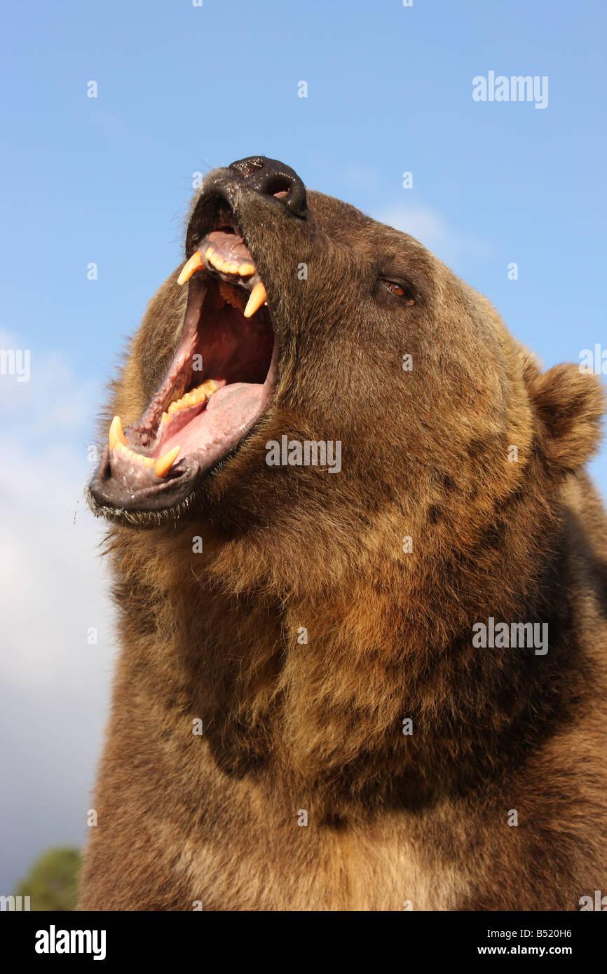 bear roar stock photos amp bear roar stock images alamy