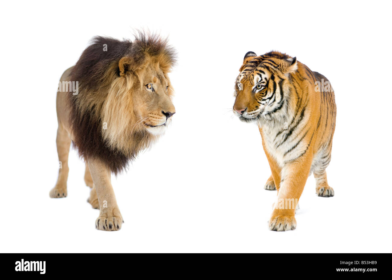 lion and tiger in front of a white background stock photo 20363149