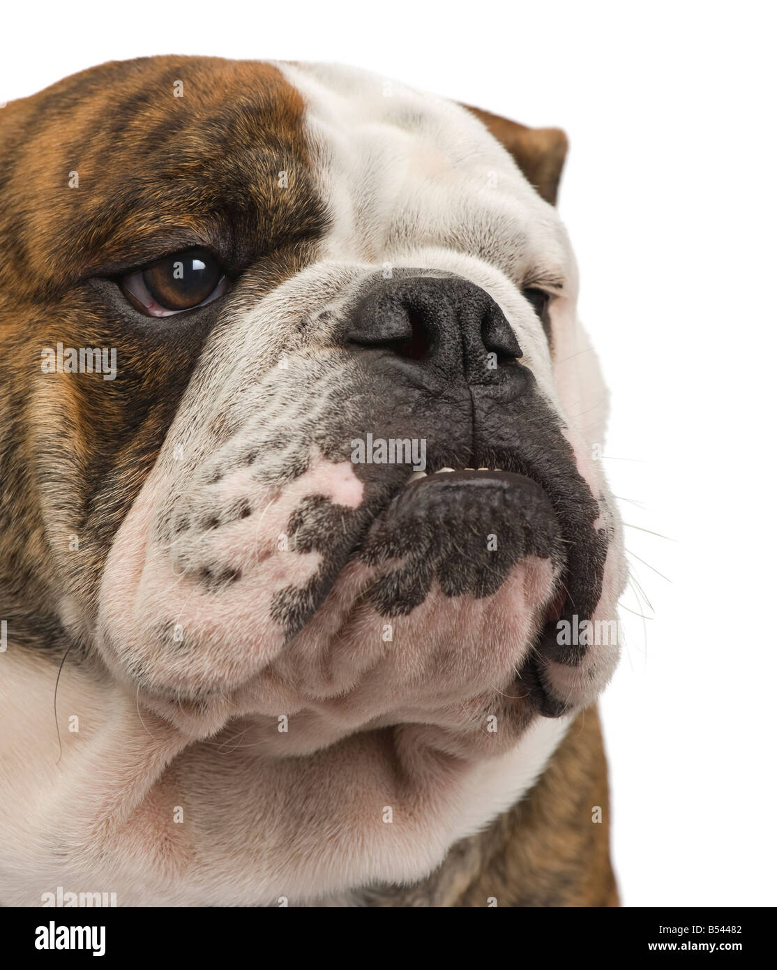 english Bulldog 6 months in front of a white background - Stock Image