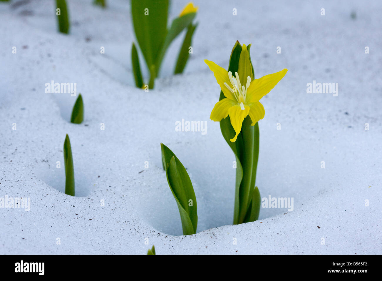 Tundra flowers stock photos tundra flowers stock images page 16 glacier lily or yellow avalanche lily erythronium grandiflorum pushing up through the snow at high altitude mightylinksfo