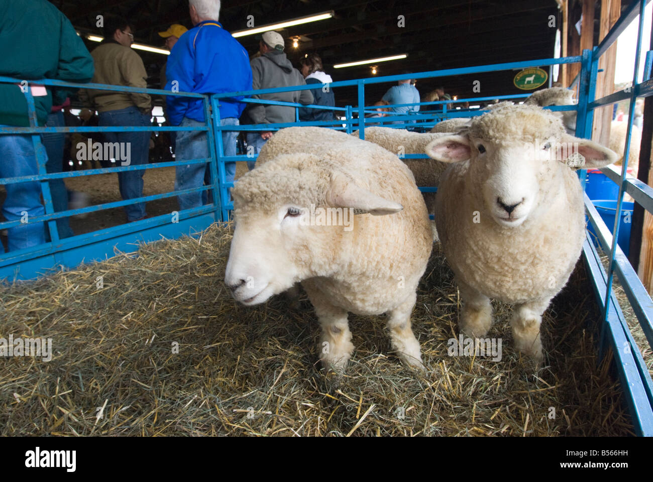 Romney Sheep at the annual Sheep and Wool Festival in Rhinebeck New York - Stock Image