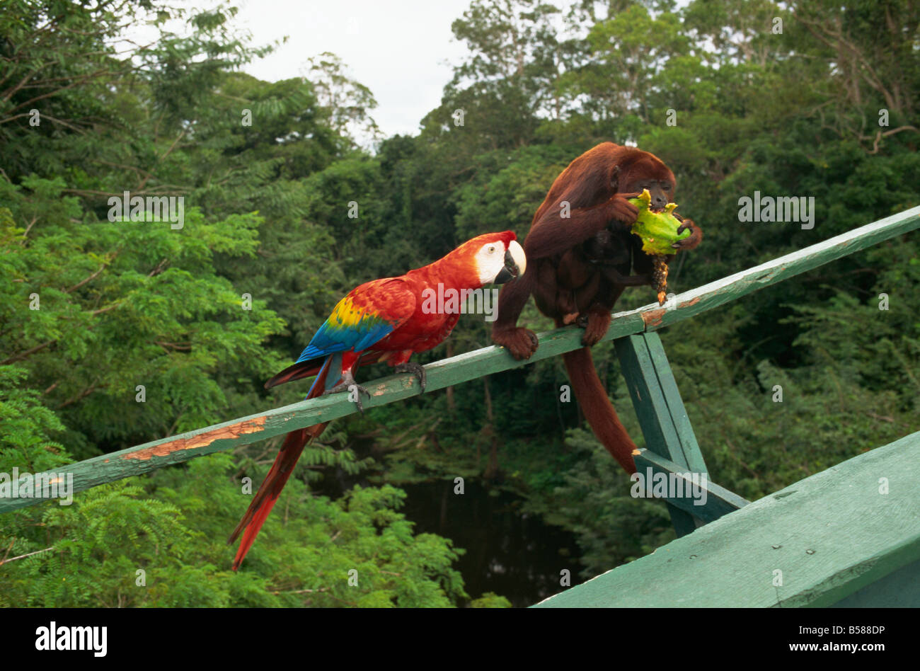Macaw and monkey compete for fruit Amazon area Brazil South America - Stock Image