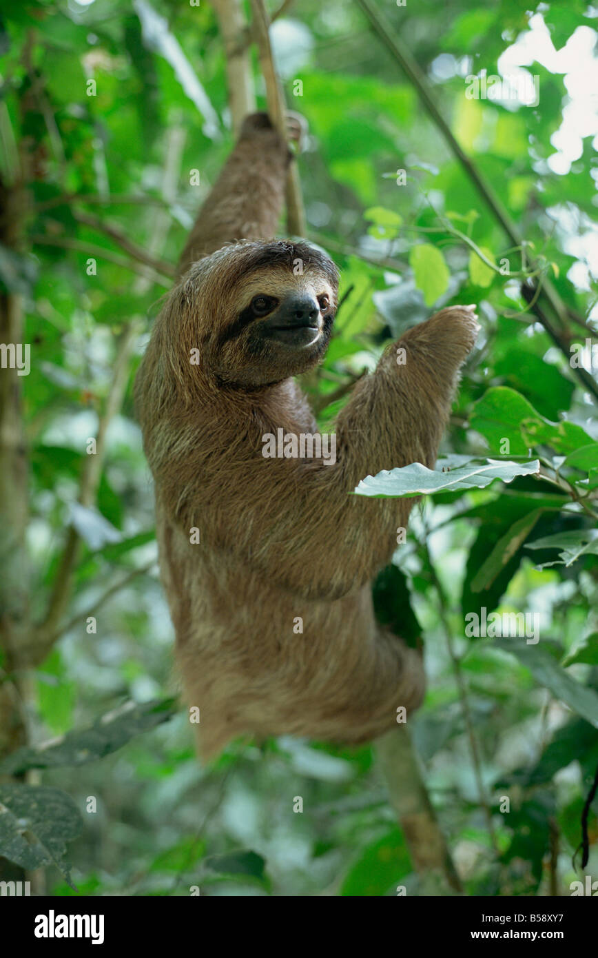 Three Toed Sloth Manuel Antonio Park Costa Rica Central America