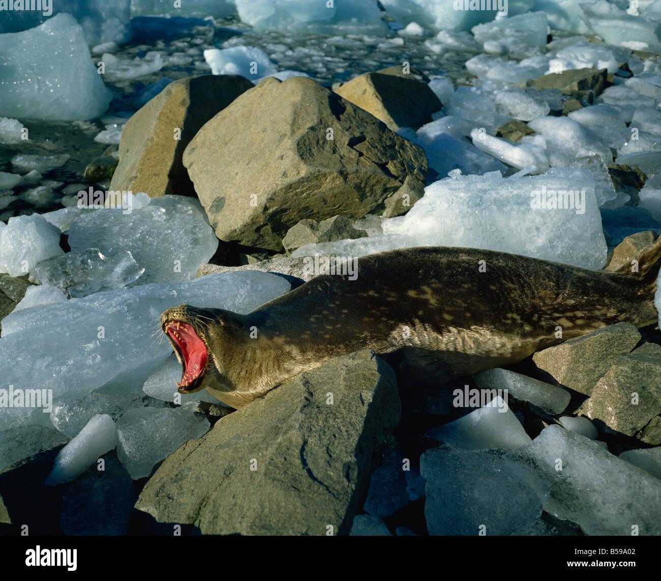 Weddell seal Antarctica Polar Regions - Stock Image