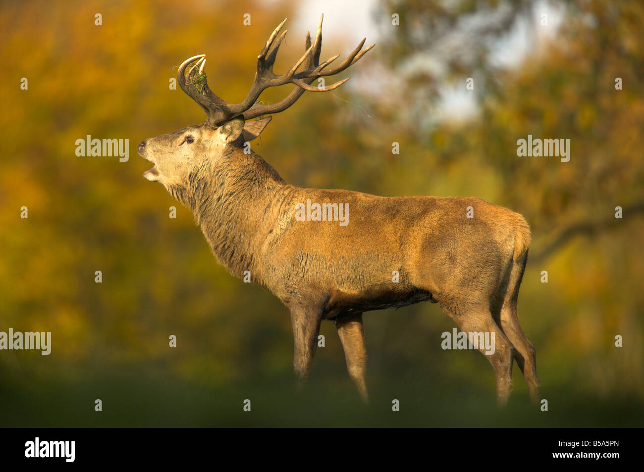 red deer stag in autumn - Stock Image