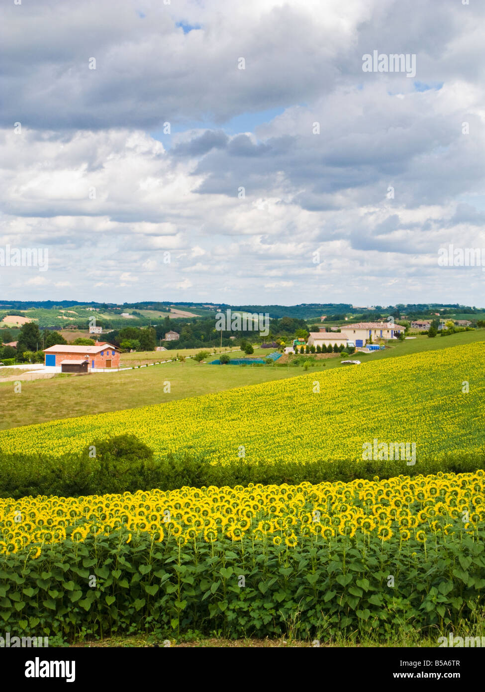 Sunflower Fields, Sainte Thècle, Tarn Et Garonne, France Europe   Stock  Image