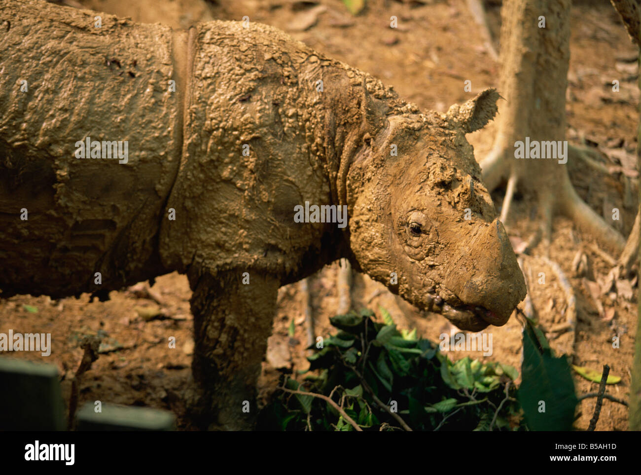 The rare hairy rhino, smallest type of rhino at Sepilok Orang-Utan Sanctuary, near Sandakan, Sabah, Malaysia, Borneo - Stock Image