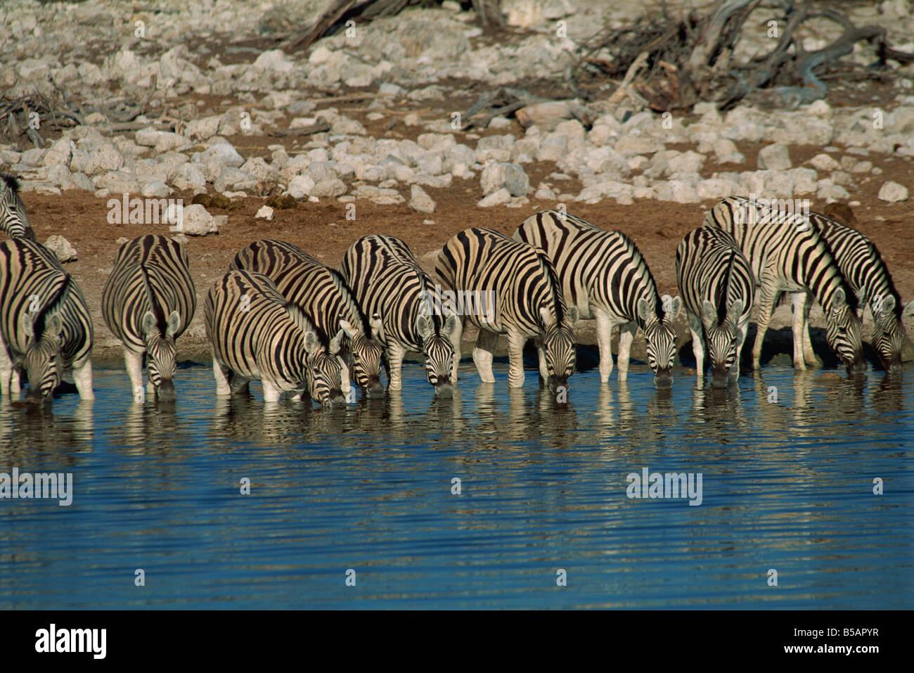 Zebra at a waterhole, Namibia, Africa - Stock Image