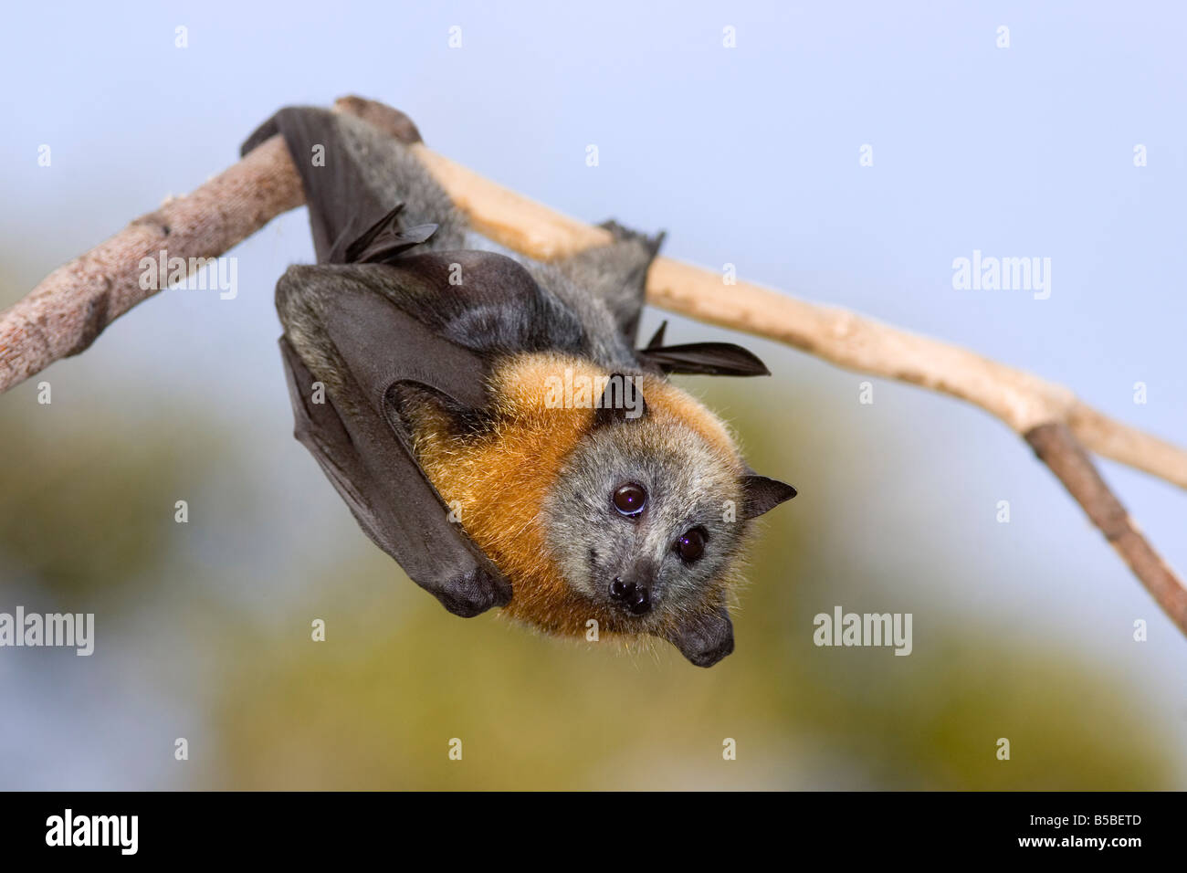 grey-headed-flying-fox-pteropus-poliocephalus-endemic-to-eastern-australia-B5BETD.jpg