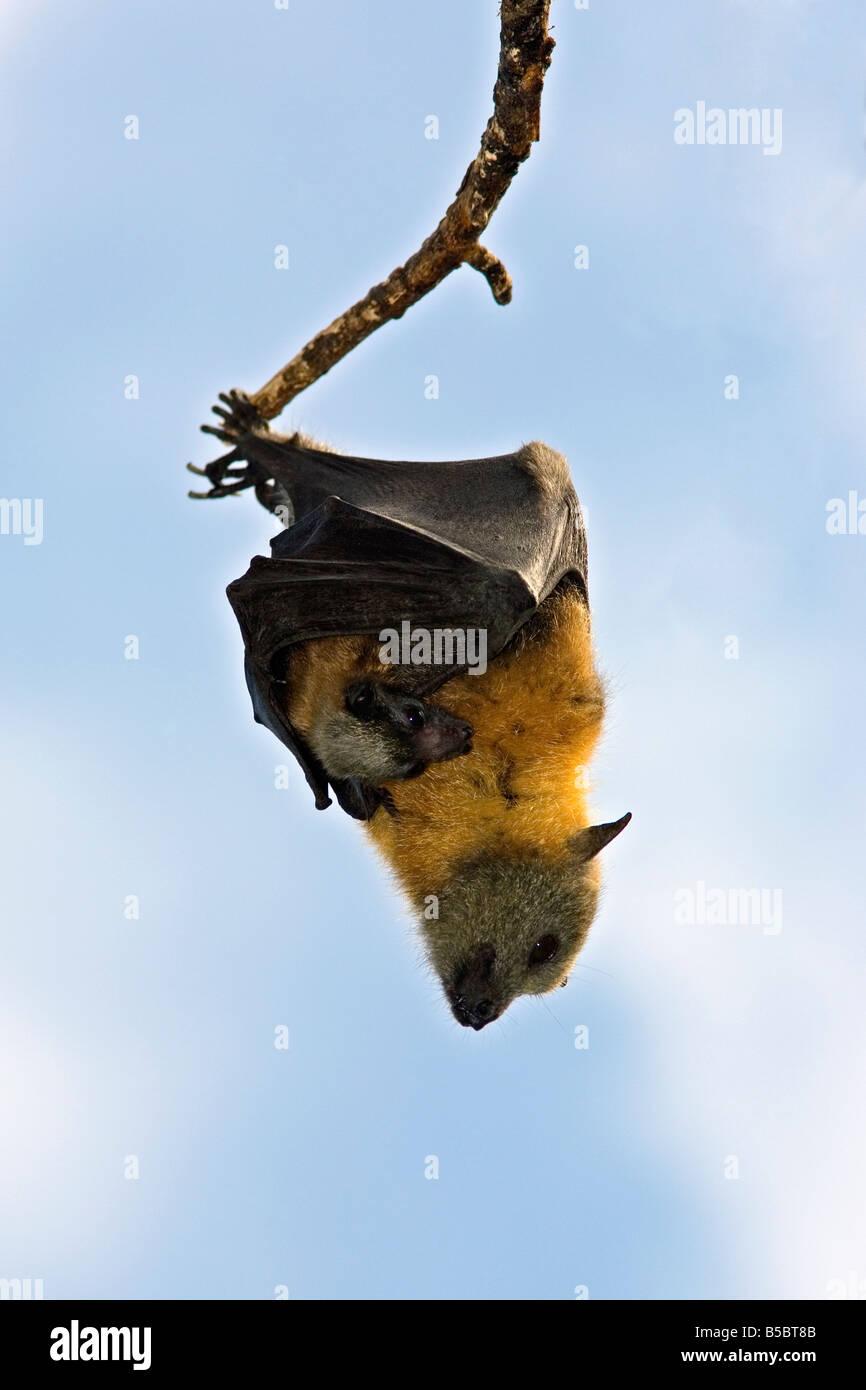 female-grey-headed-flying-fox-pteropus-poliocephalus-holding-her-baby-B5BT8B.jpg