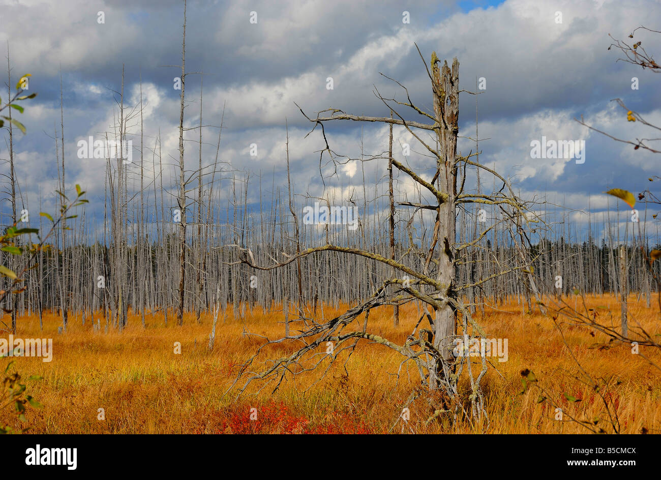 Tree trunks left after a forest fire, near Parry Sound in Ontario, Canada. Horizontal format - Stock Image
