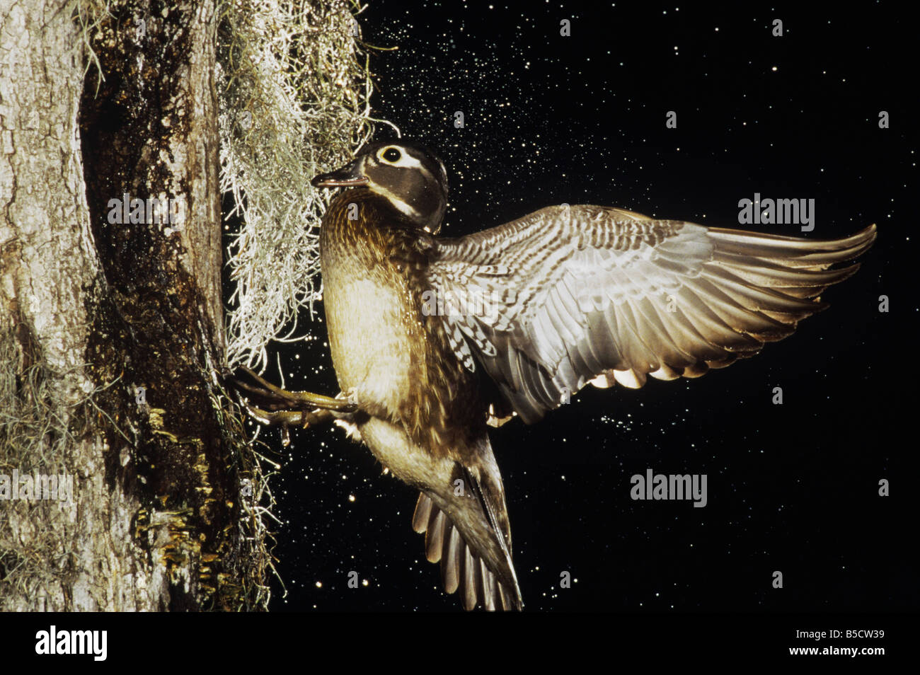 Wood Duck, Aix sponsa, female landing at nesting cavity, Raleigh, Wake County, North Carolina, USA - Stock Image