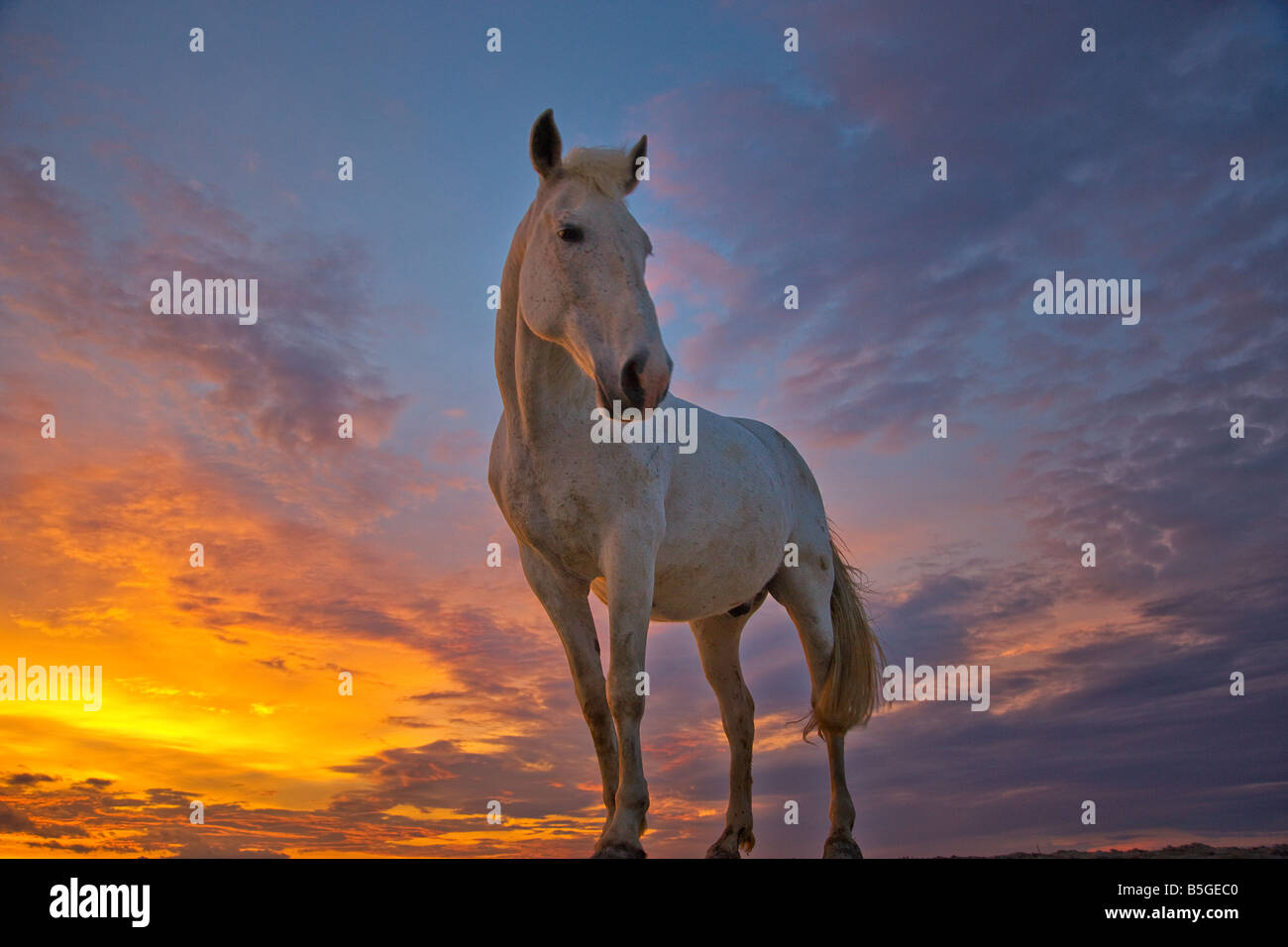Camargue horses at sunset France - Stock Image