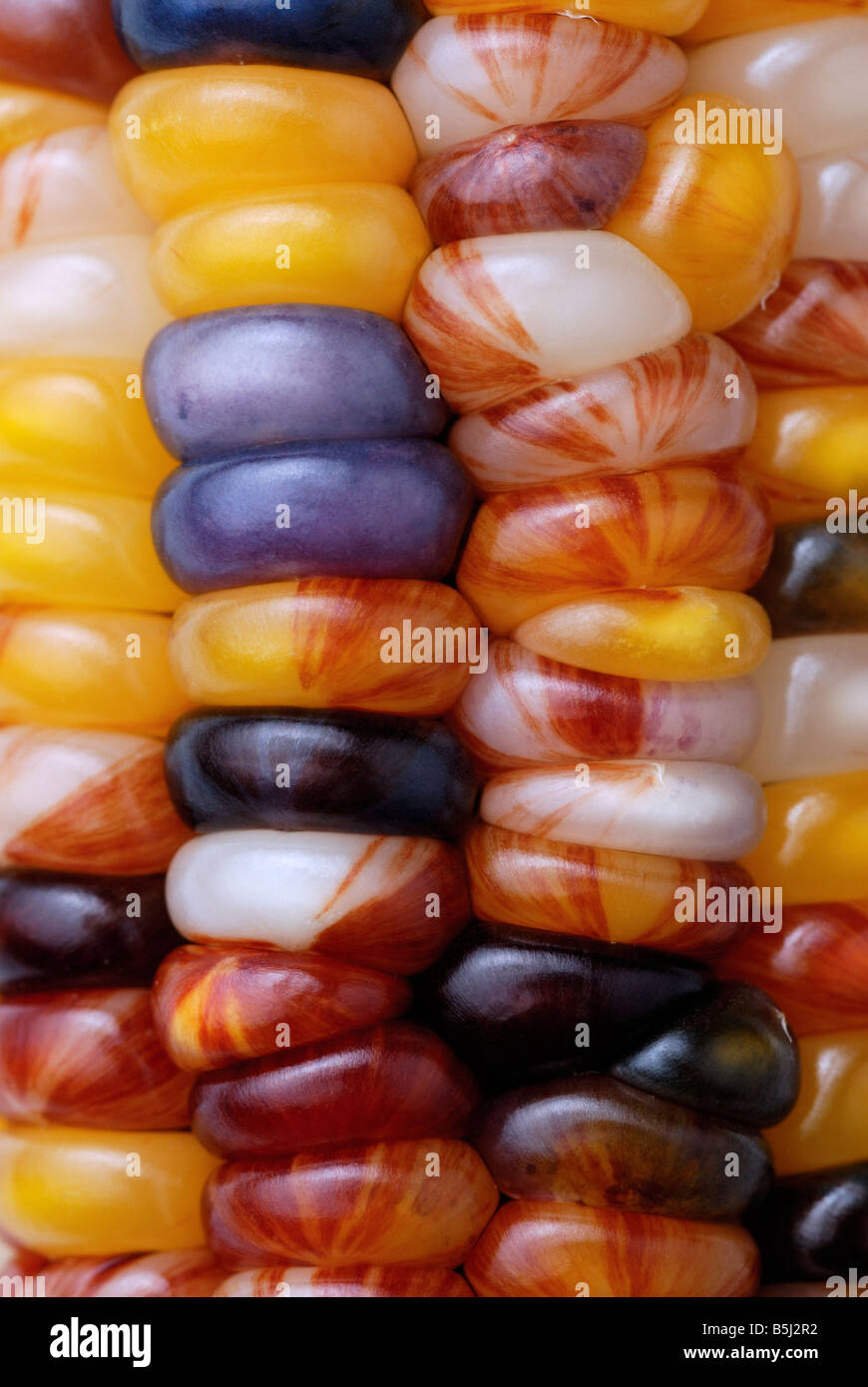 Colorful colourful Indian corn, maize, close-up - Stock Image