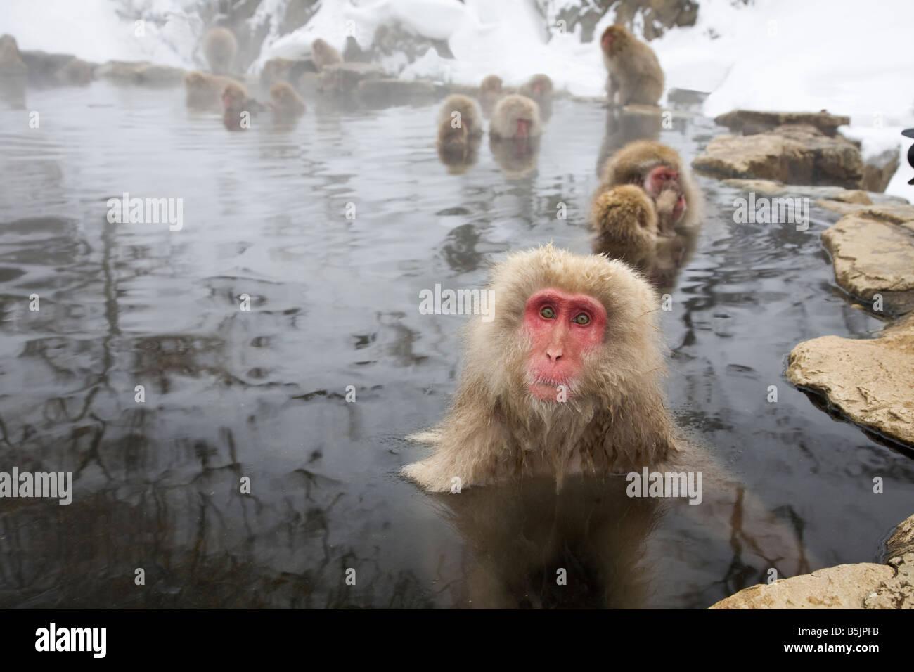 Jigokudani National Monkey Park, Nagano, Japan: Japanese Snow Monkeys (Macaca fuscata) in winter - Stock Image