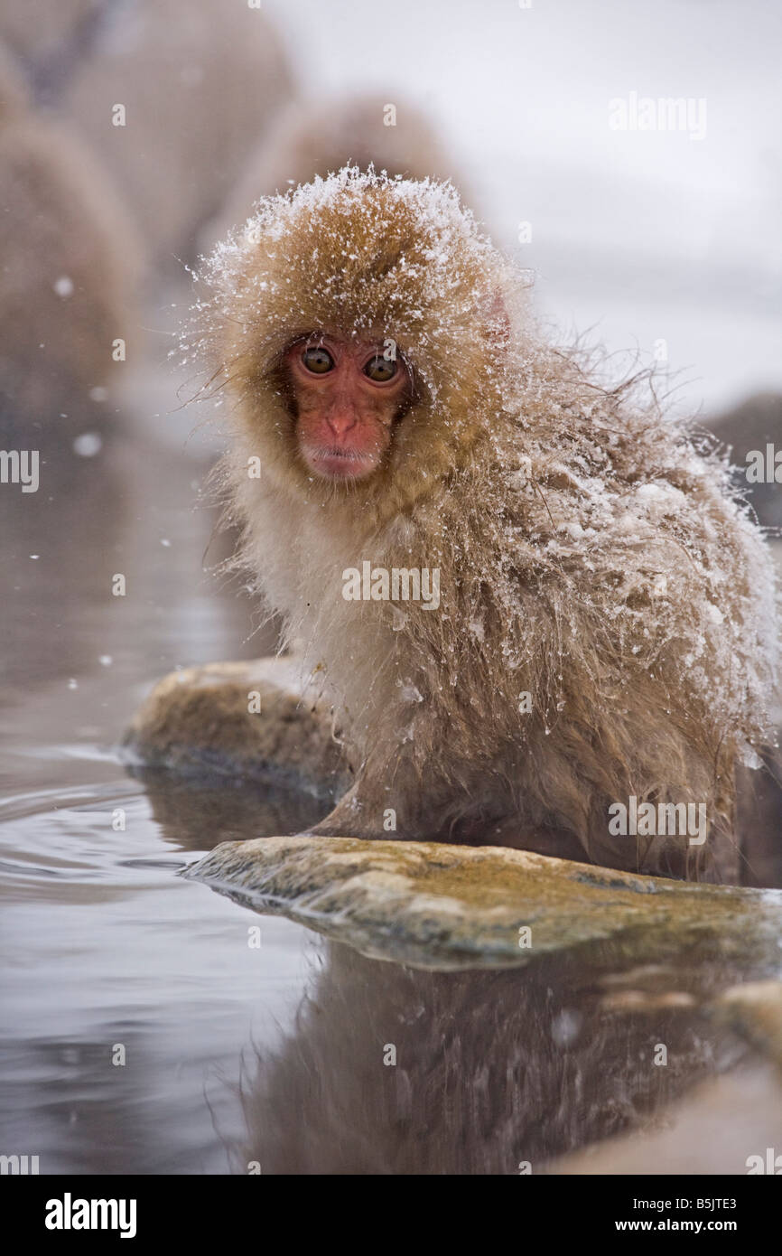Snow Monkey in Jigokudani National Monkey Park Nagano Japan - Stock Image
