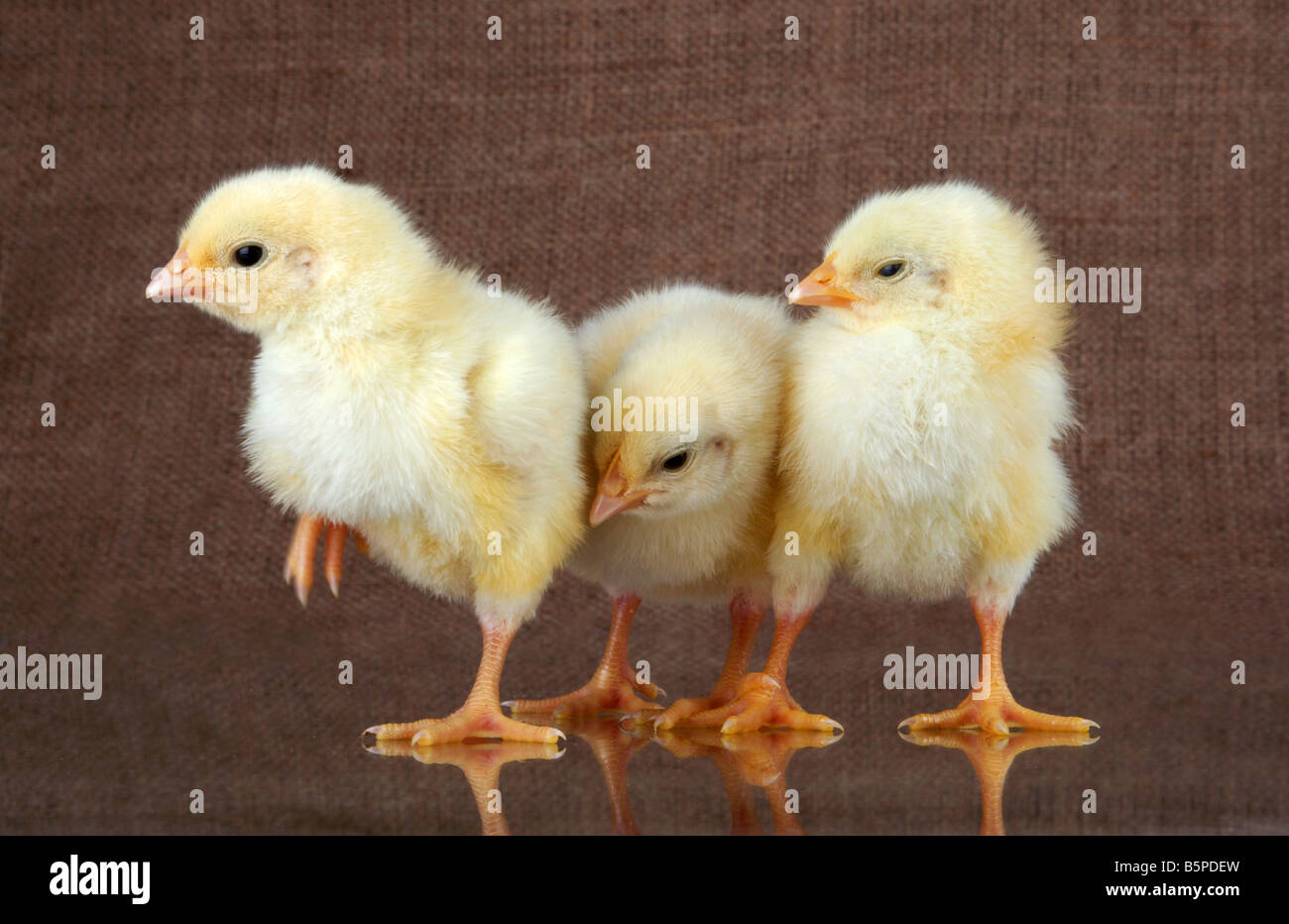 Three small chickens are engaged in private affairs - Stock Image