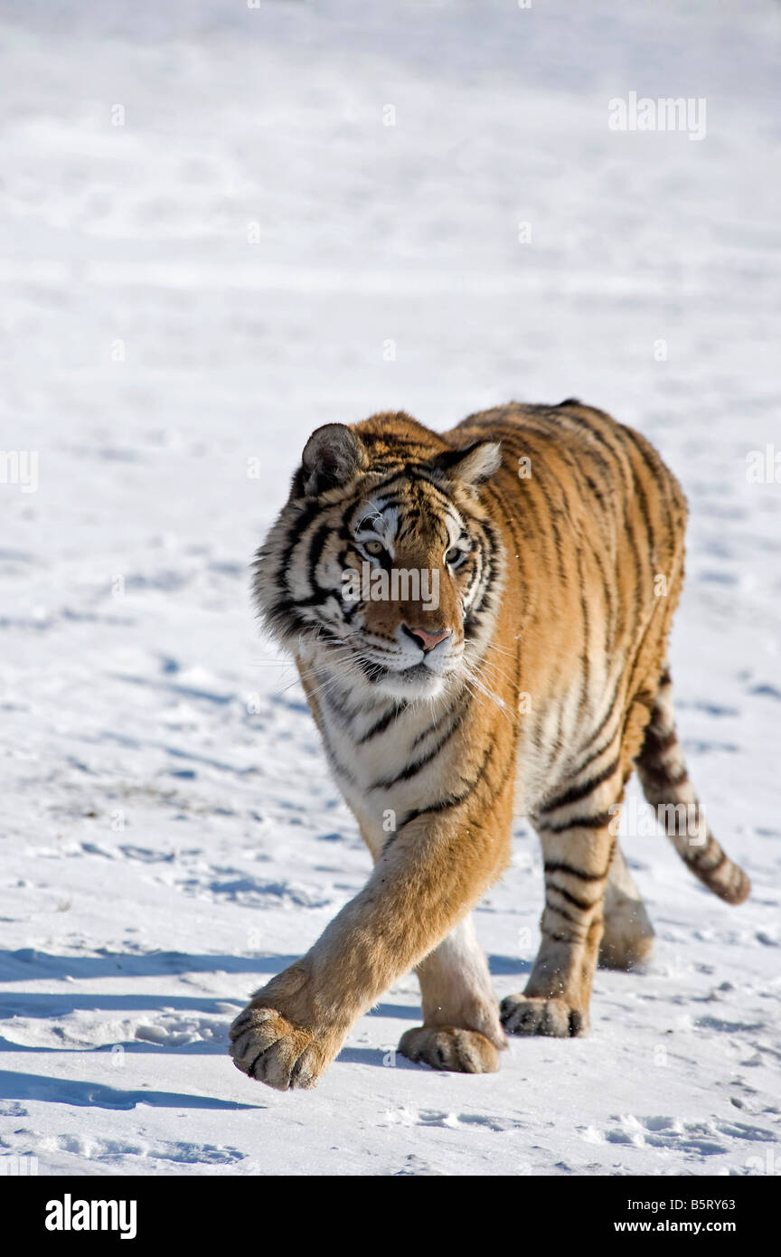Amur or Siberian tiger Panthera tigris altaica walking on snow in north east China Heilongjiang - Stock Image