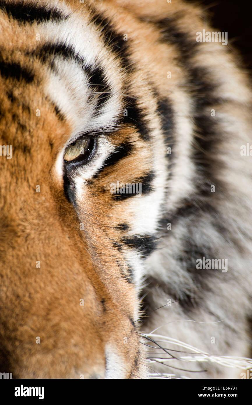 Siberian or amur tiger Panthera tigris altaica eye China - Stock Image