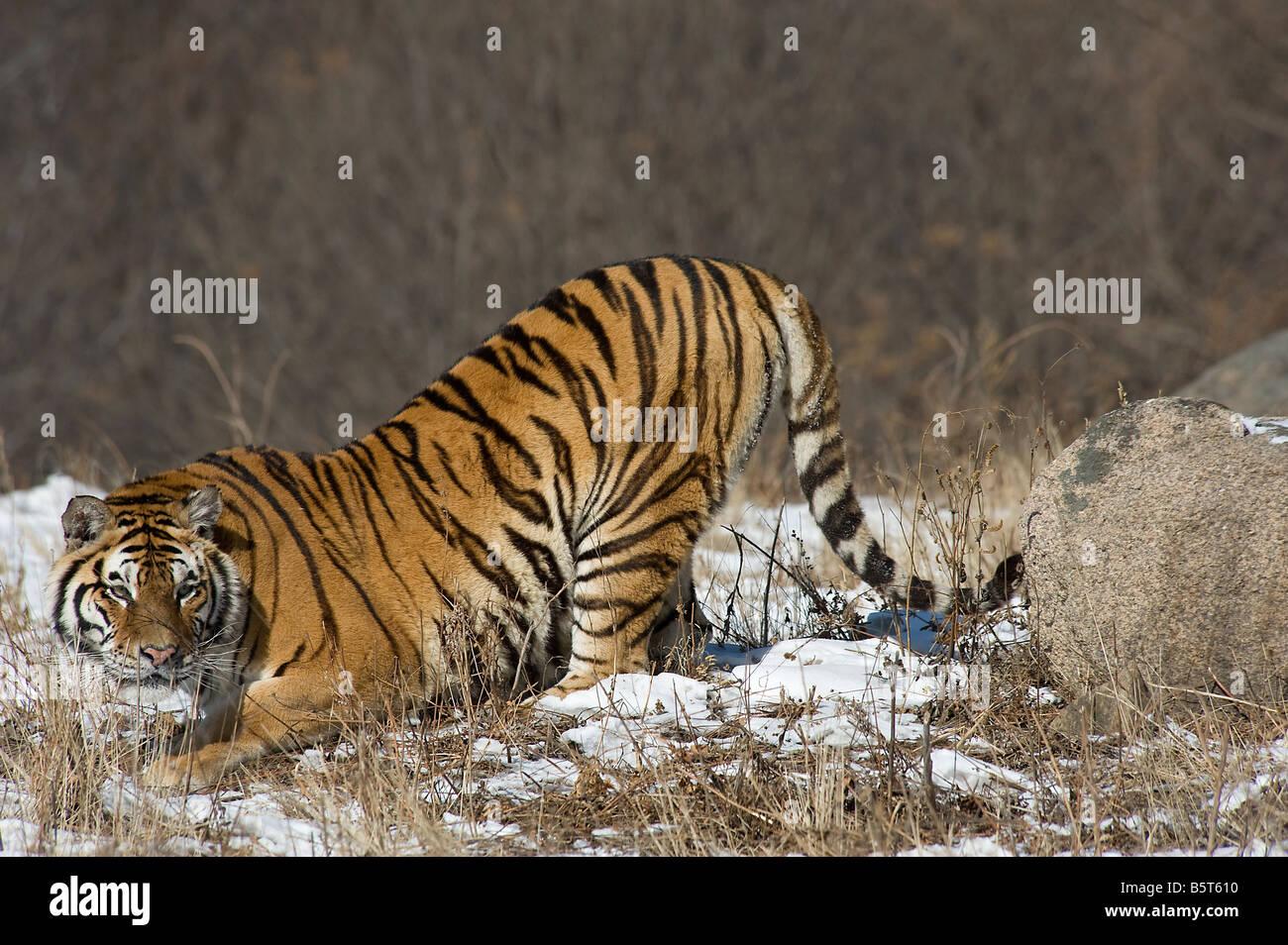 Alert Amur or Siberian tiger Panthera tigris altaica crouching Helongjiang China - Stock Image
