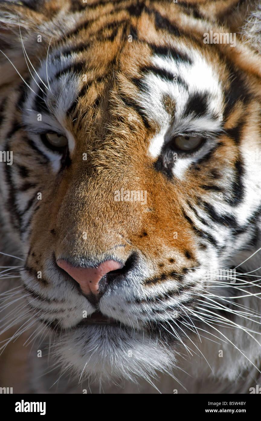 Amur or Siberian tiger Panthera tigris altaica face Heilongjiang China - Stock Image