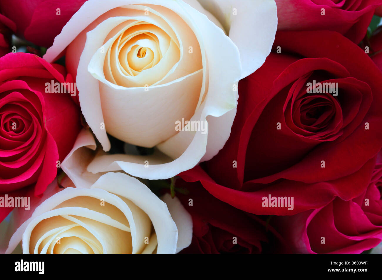 Stock Photo Of A Beautiful Bunch Of Red And White Roses Stock Photo