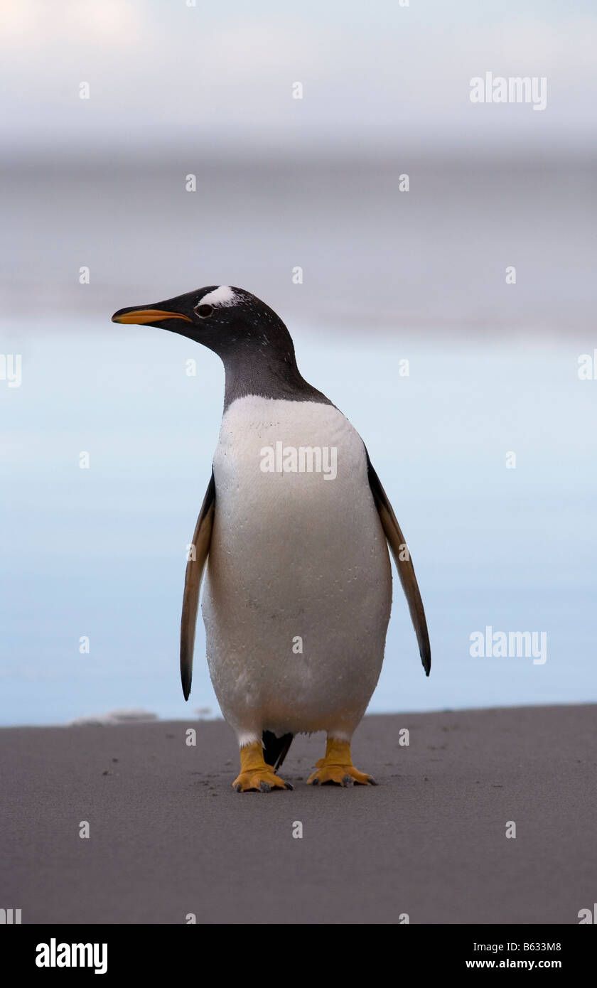 Gentoo Penguin (Pygoscelis papua) on beach, Sea Lion Island, Falkland Islands - Stock Image
