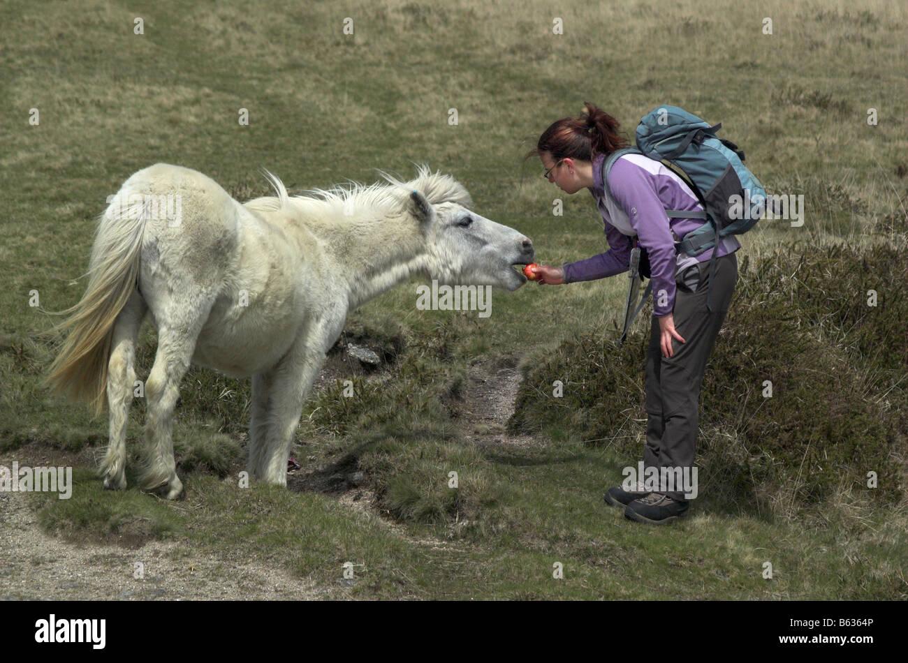 a-walker-feeding-a-dartmoor-pony-with-an-apple-B6364P.jpg