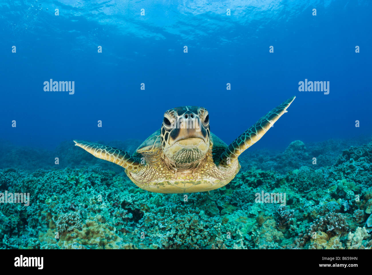 Green Turtle Chelonia mydas Maui Hawaii USA - Stock Image