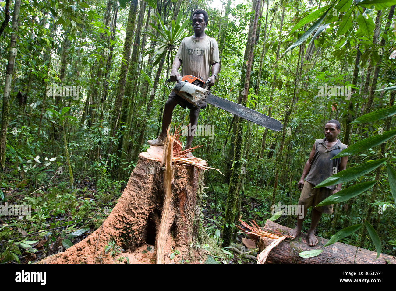 Loggers Cut Down A Tree Near Morere In The Turama