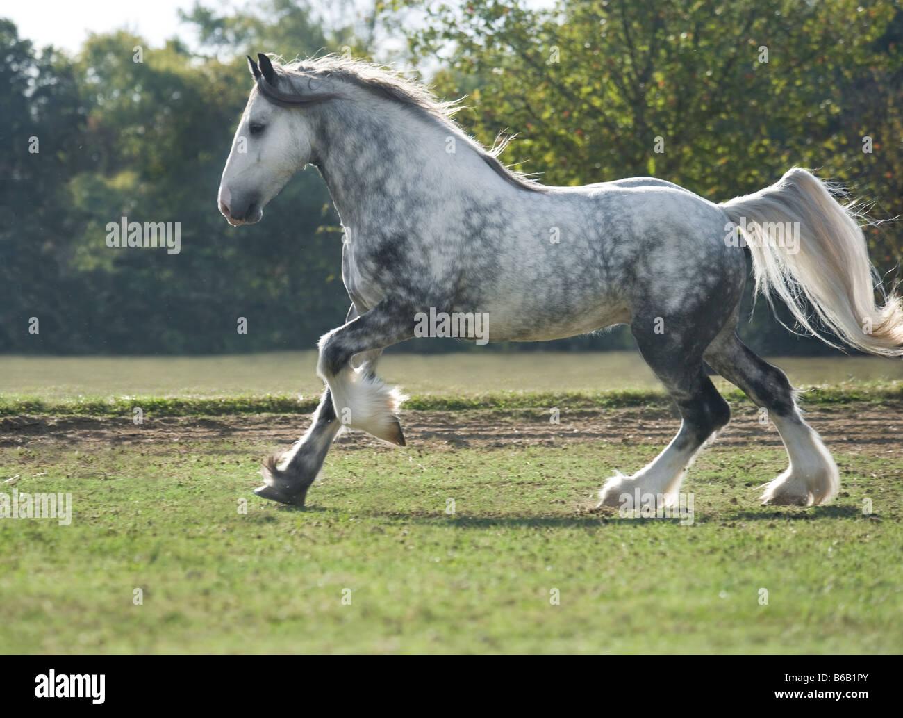 Drum Horse stallion - Stock Image