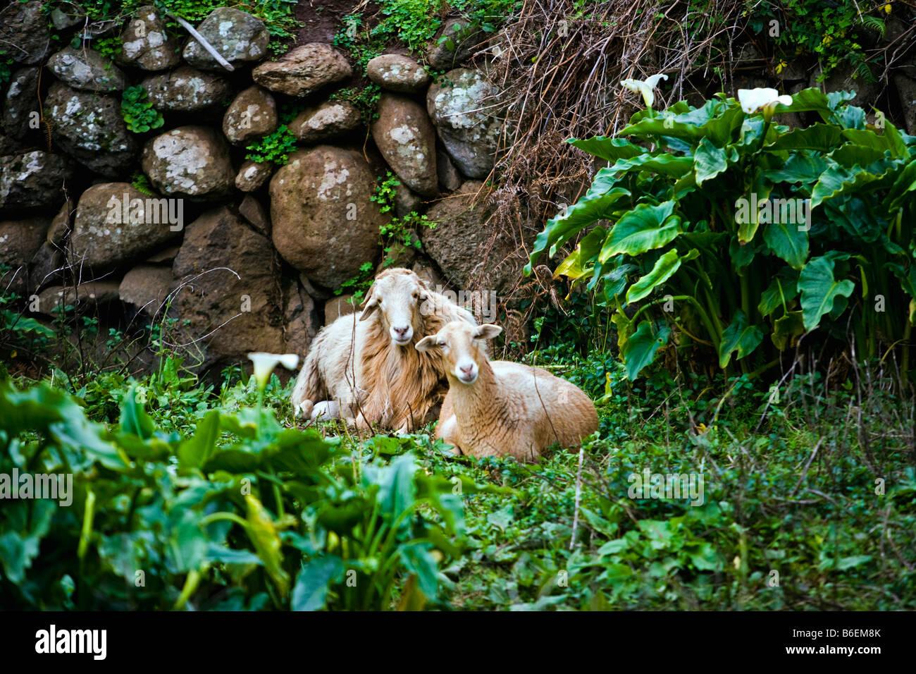 Spain. Canary Islands. La Gomera Island. El Cedro village. Sheep. - Stock Image