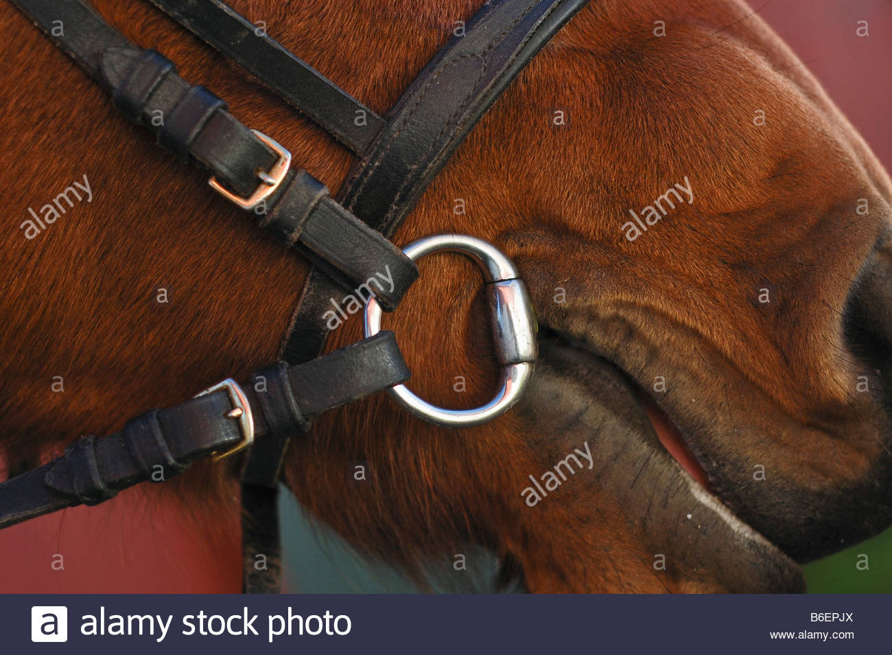 Horse bridle - Stock Image