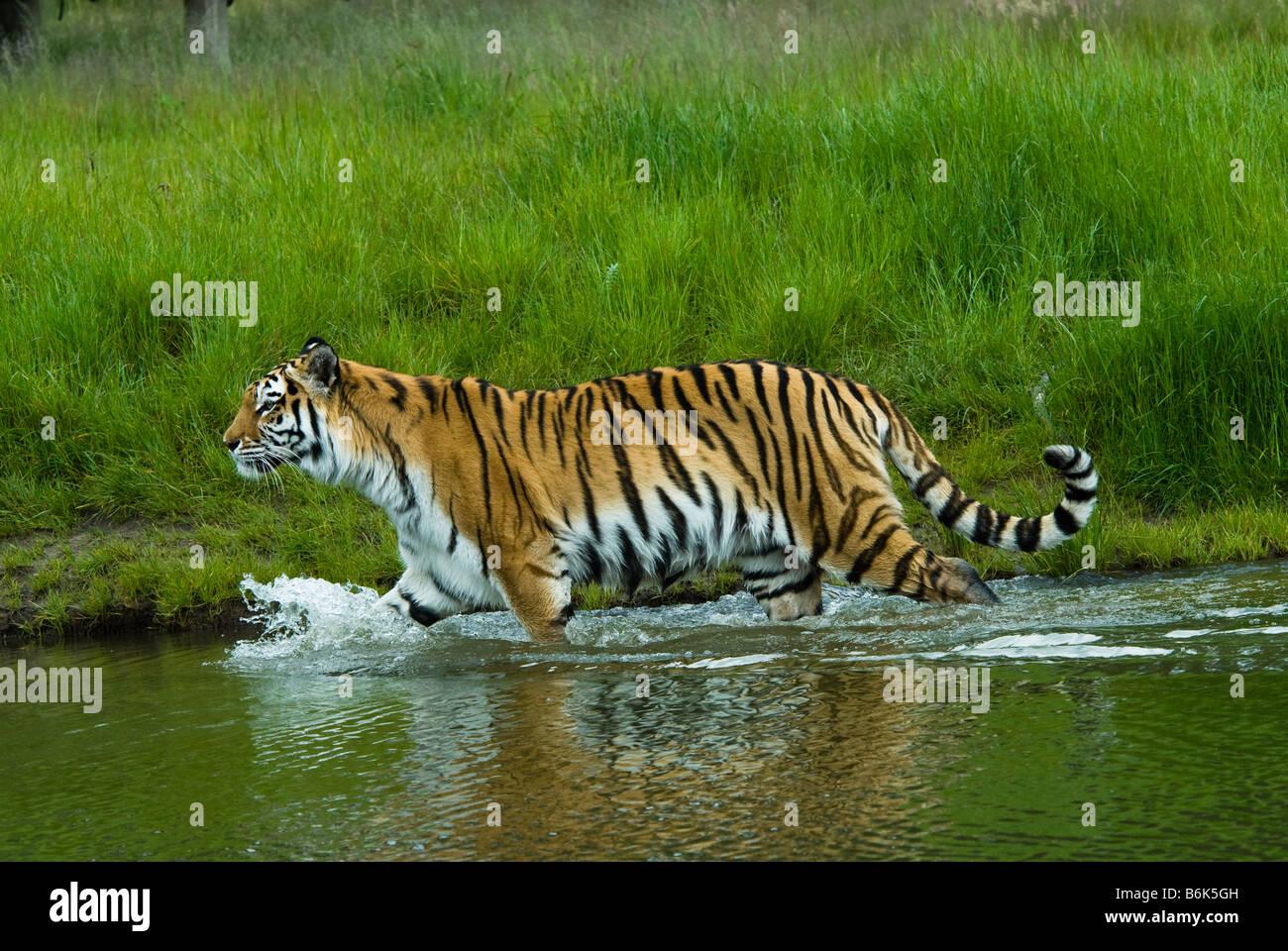 Siberian tiger Tiger Panthera tigris altaica in water - Stock Image