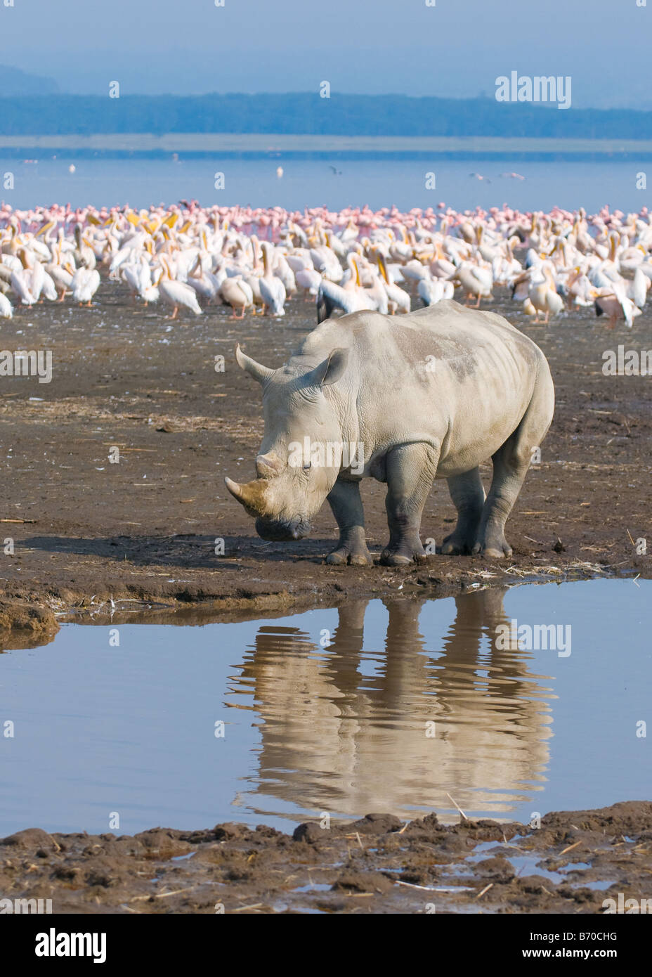 rhino in lake nakuru national park kenya - Stock Image
