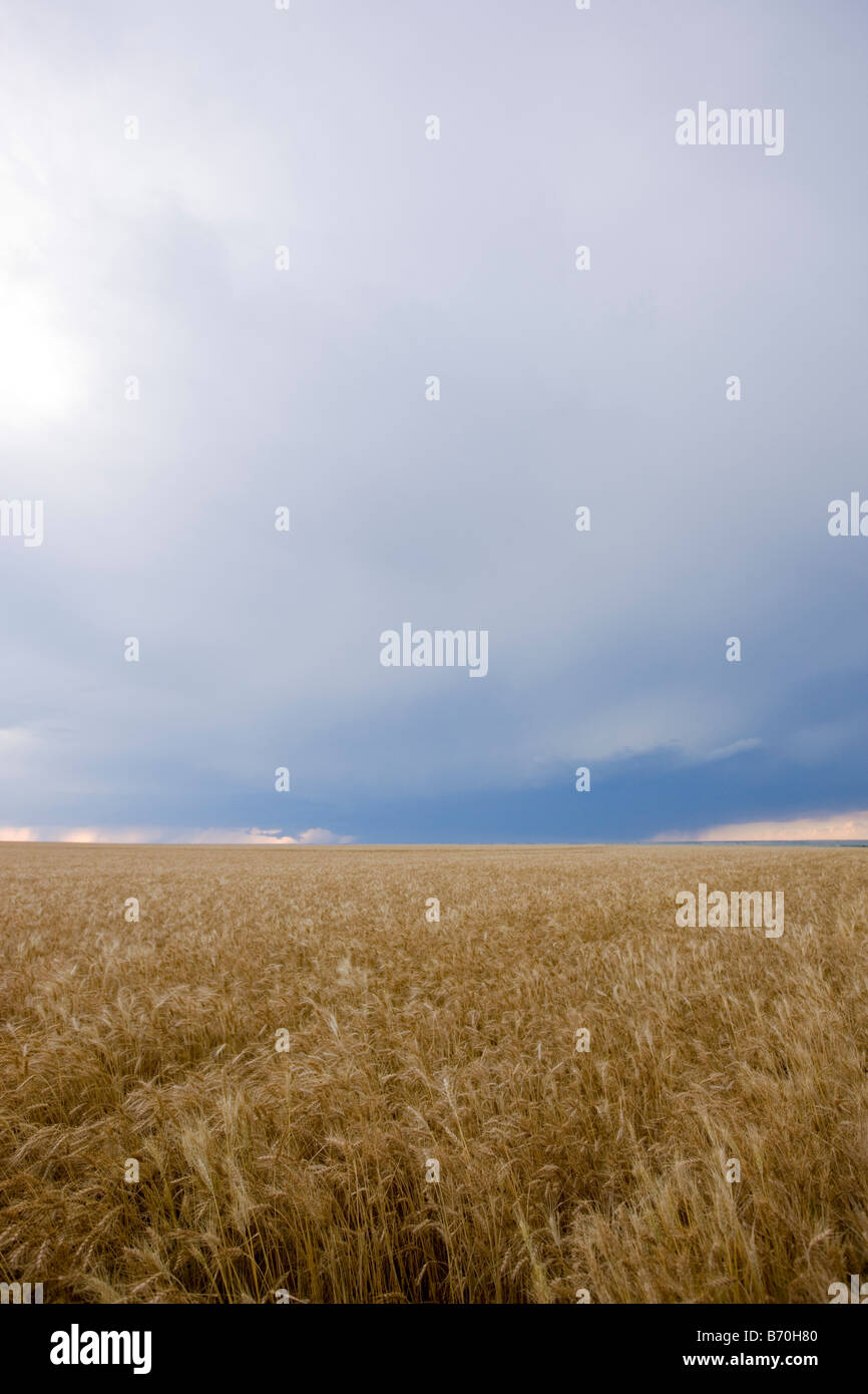 Wheat Field in Wakeeney Kansas - Stock Image