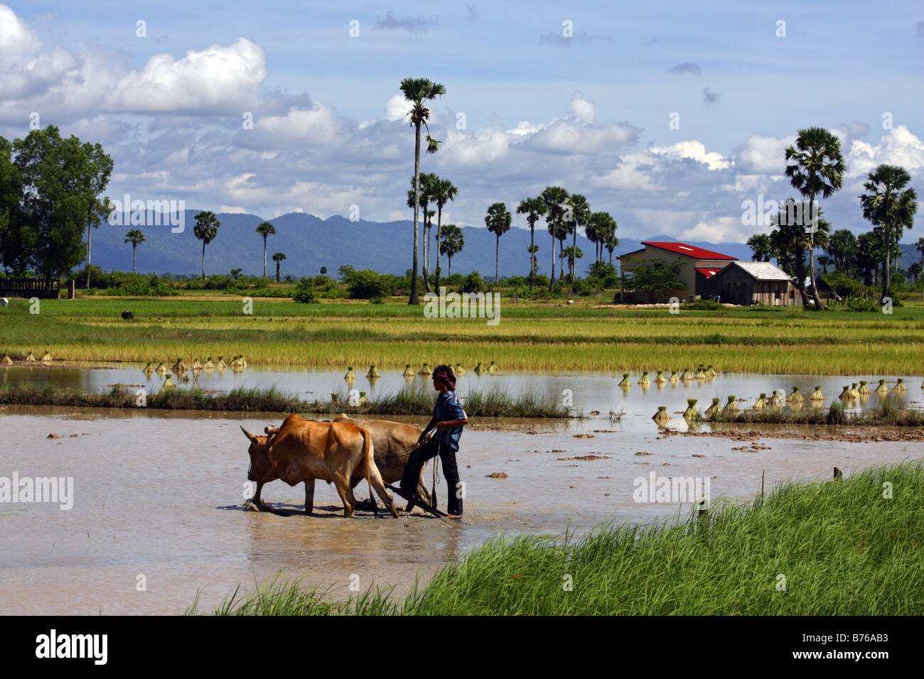 Man with 2 oxen plowing a rice field, Kampot South Cambodia - Stock Image