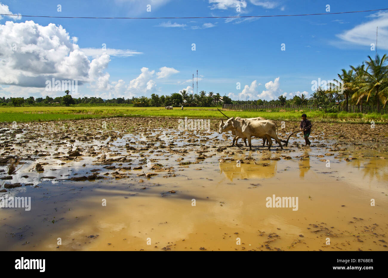 Man with 2 white oxen plowing a rice field, Kampot South Cambodia - Stock Image