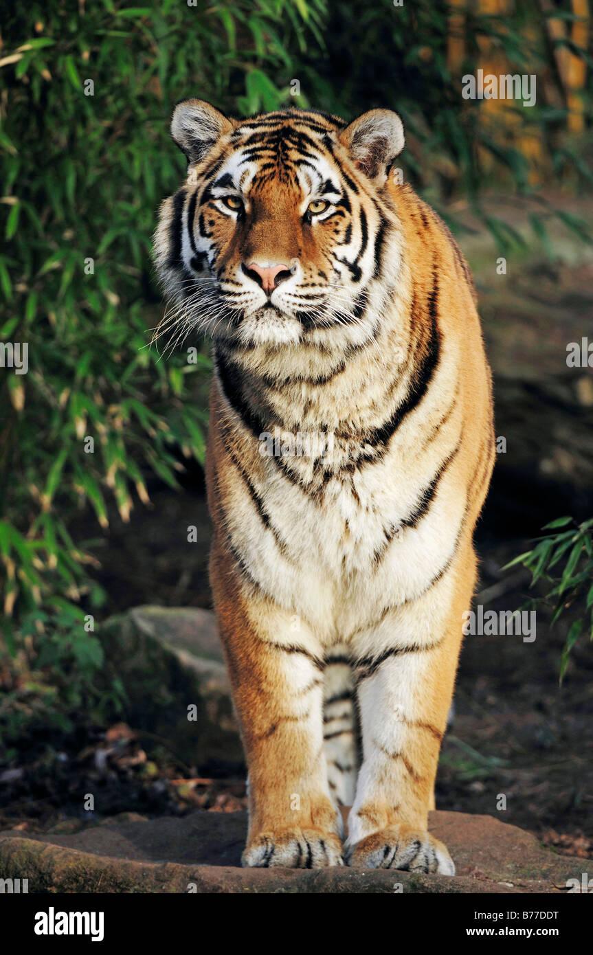 Siberian Tiger, Manchurian Tiger, Amur Tiger (Panthera tigris altaica) - Stock Image