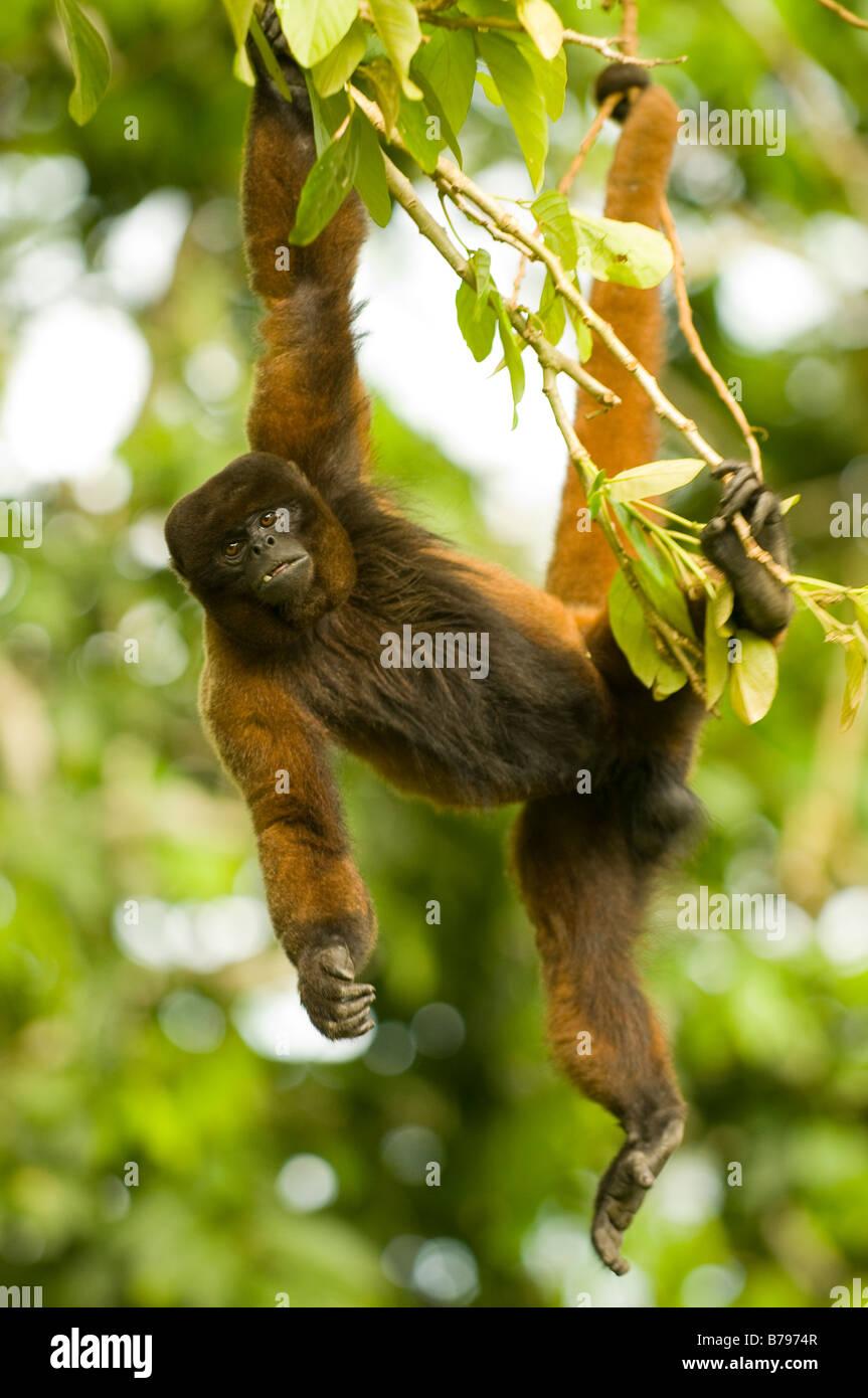 Poeppig's woolly monkey ( or silvery woolly monkey) Lagothrix poeppigii - Stock Image