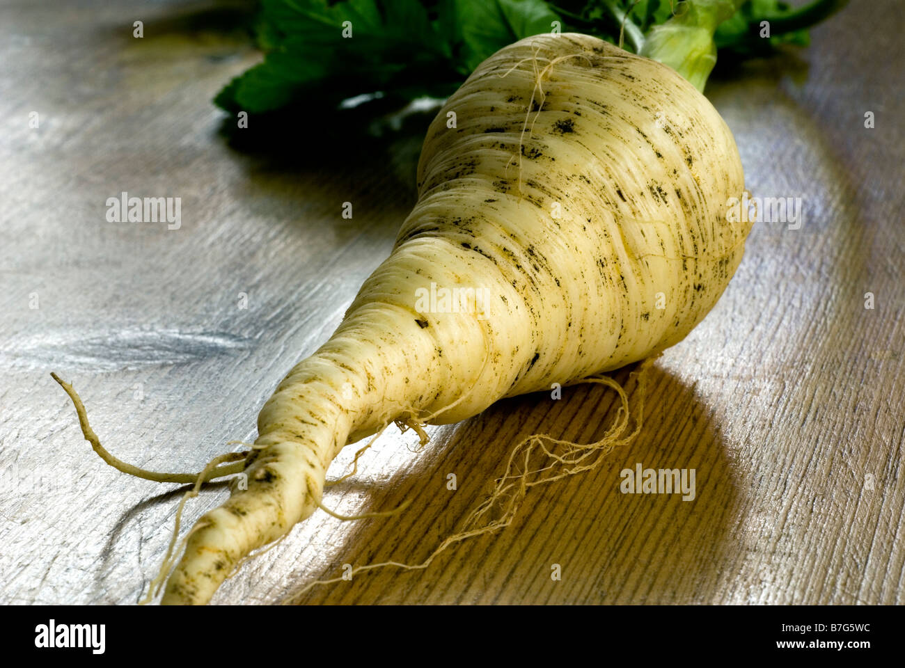 A FRESHLY  PULLED PARSNIP COMPLETE WITH LEAVES AND EARTH SHOT ON A WOODEN KITCHEN TABLE - Stock Image