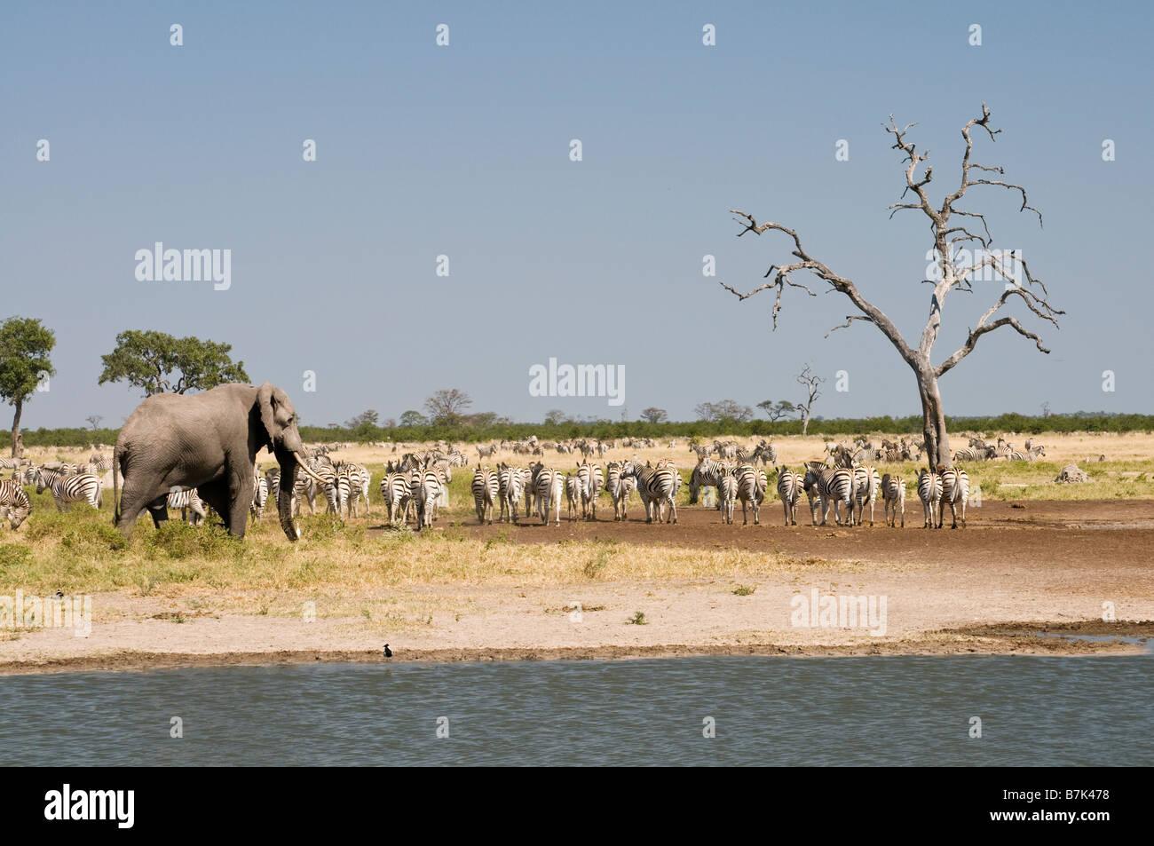 Elephant Zebra at the water Savuti - Stock Image