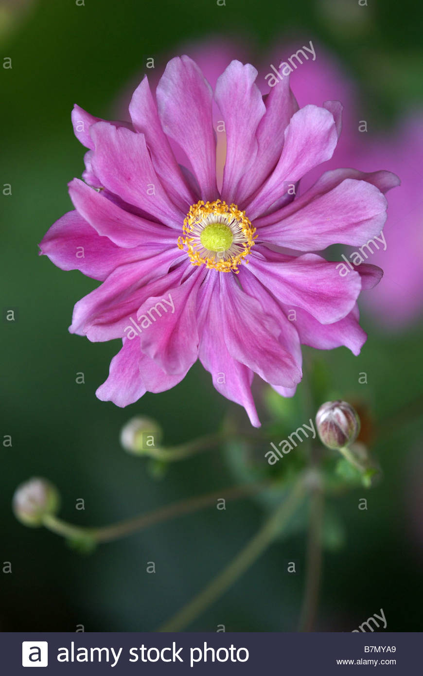 anemone-japonica-japanese-thimbleweed-an